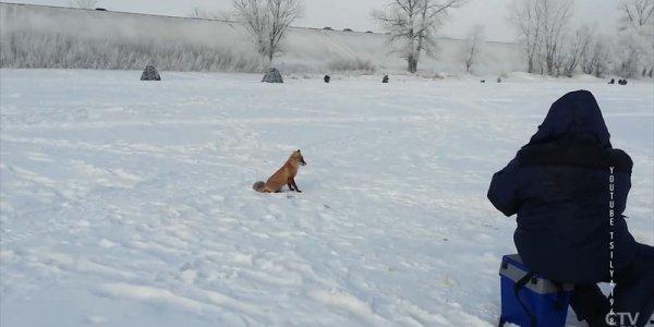 Бешеные лисы повадились на частные подворья в Лидском районе