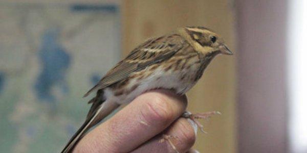 Новый вид птиц обнаружен в Беларуси — овсянка-ремез