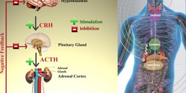 Организм человека постоянно подвергается разнообразным стрессам