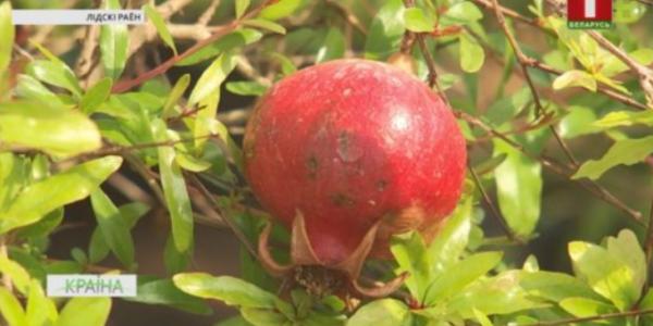 Бананы, гранаты, ананасы и кофейное дерево выращивают в теплицах в Лиде