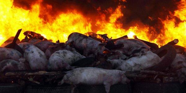 В Лидском районе на пожаре погибли более 30 свиней