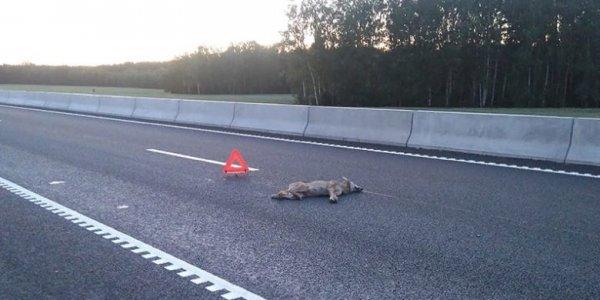 В Лидском районе на М6 водитель сбил волчицу