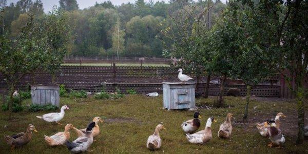 Под Лидой чиновник на пенсии создал ферму. Доход 500$ в день.